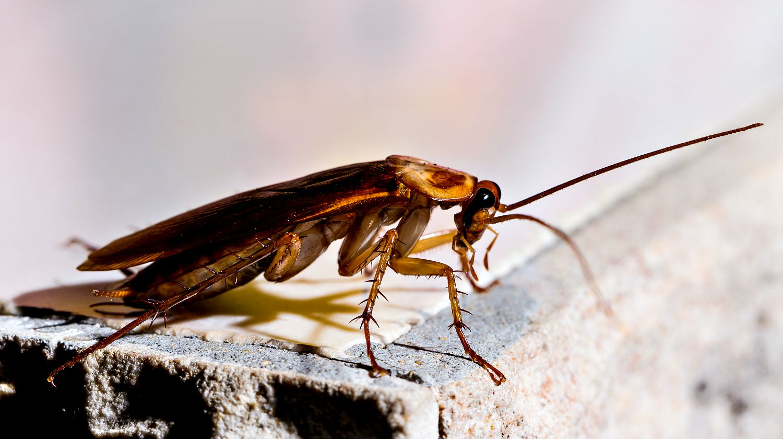 Does Peppermint Oil Repel Roaches Getridofallthings Com