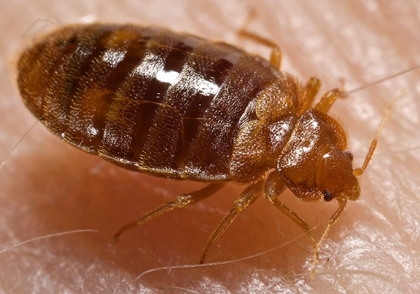 Does Raid Spray Kill Bed Bugs 2020 - Photo By Wikipedia