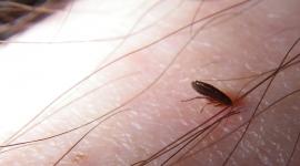 How Big is a Flea?