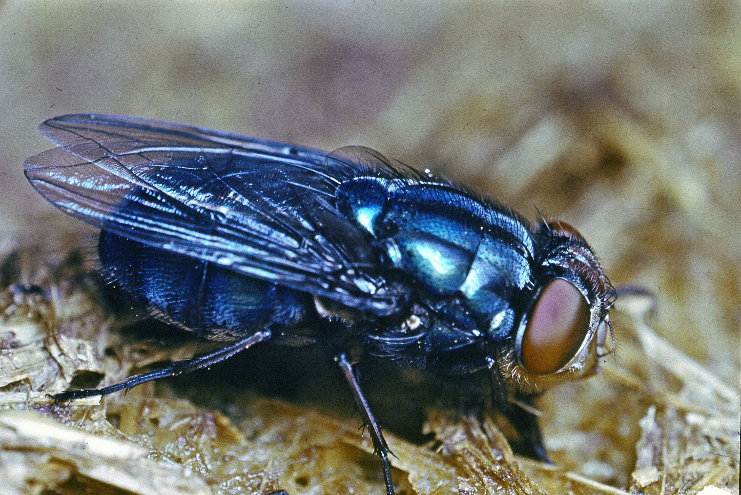 How Long Do Blow Flies Live - Photo by britannica