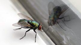 How Long Do House Flies Live?