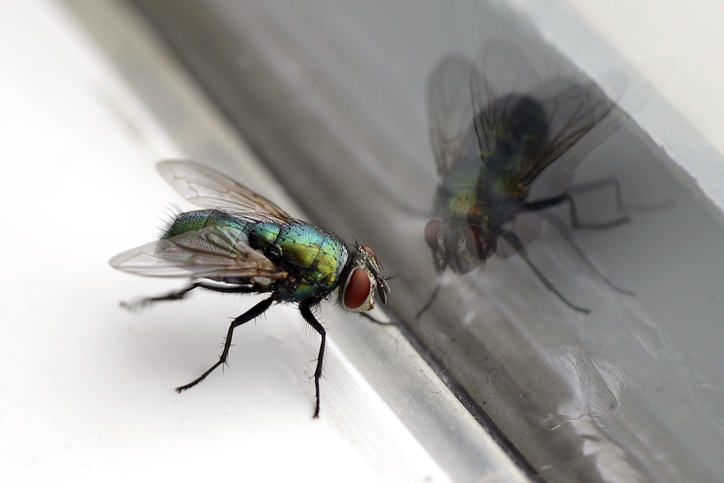How Long Do House Flies Live - Photo by westernexterminator
