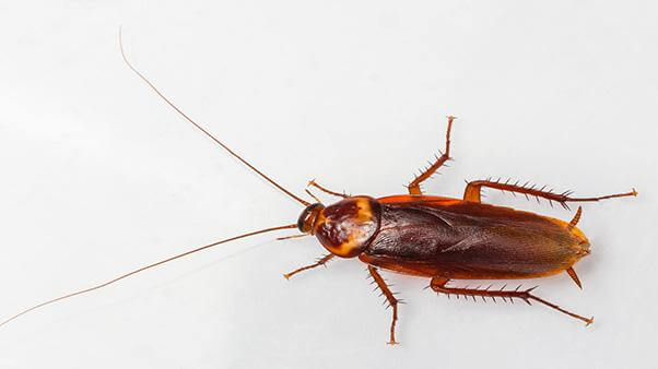 How To Get Rid Of American Cockroaches Naturally- Photo by ortho