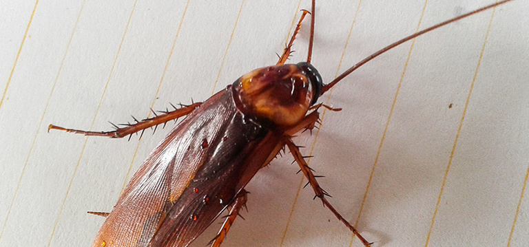 How To Get Rid Of Cockroach Bites - Photo By rentokil