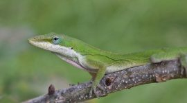 How To Get Rid Of Green Anoles Naturally