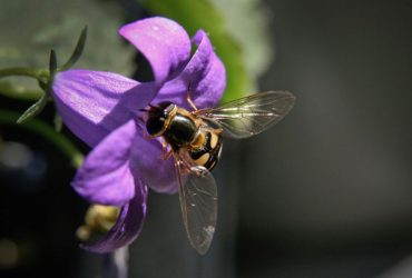 How To Get Rid Of Hoverflies Naturally