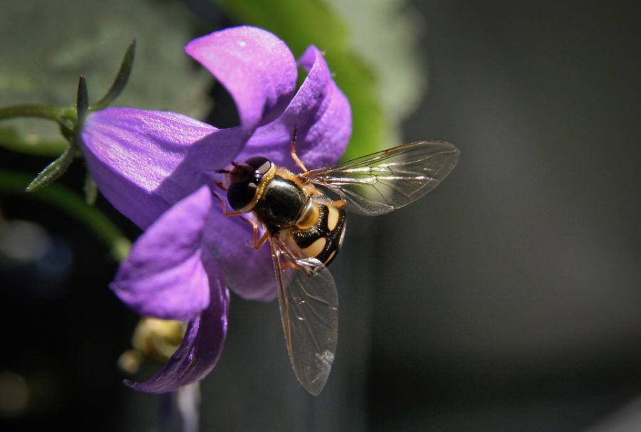 How To Get Rid Of Hoverflies Naturally - Photo by thepracticalplanter