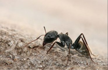 How To Get Rid Of Pavement Ants Naturally