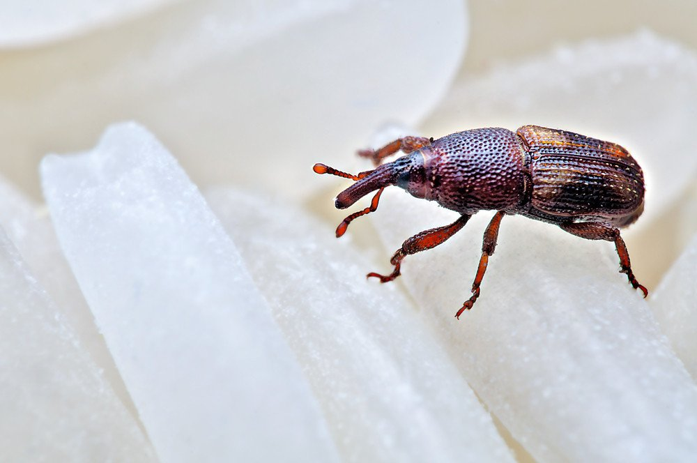 How To Get Rid Of Rice Weevils Naturally