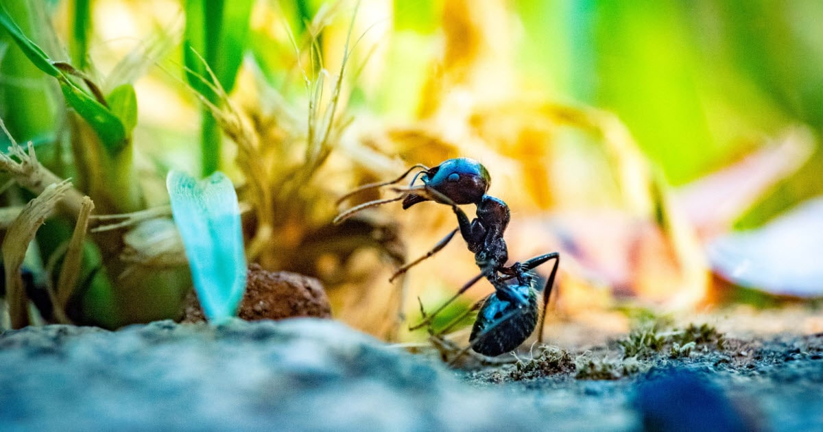 How To Get Rid of Ants in Grass Naturally - Photo by lawnchick
