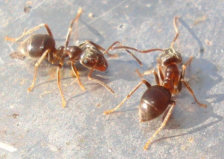 How To Get Rid of Moisture Ants Naturally