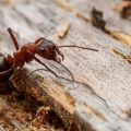 How To Get Rid of Rover Ants Naturally