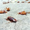 How To Kill Roaches With Boric Acid - Photo by insectcop