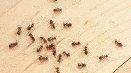 How to Control Ants In Your House Without Toxic Chemicals