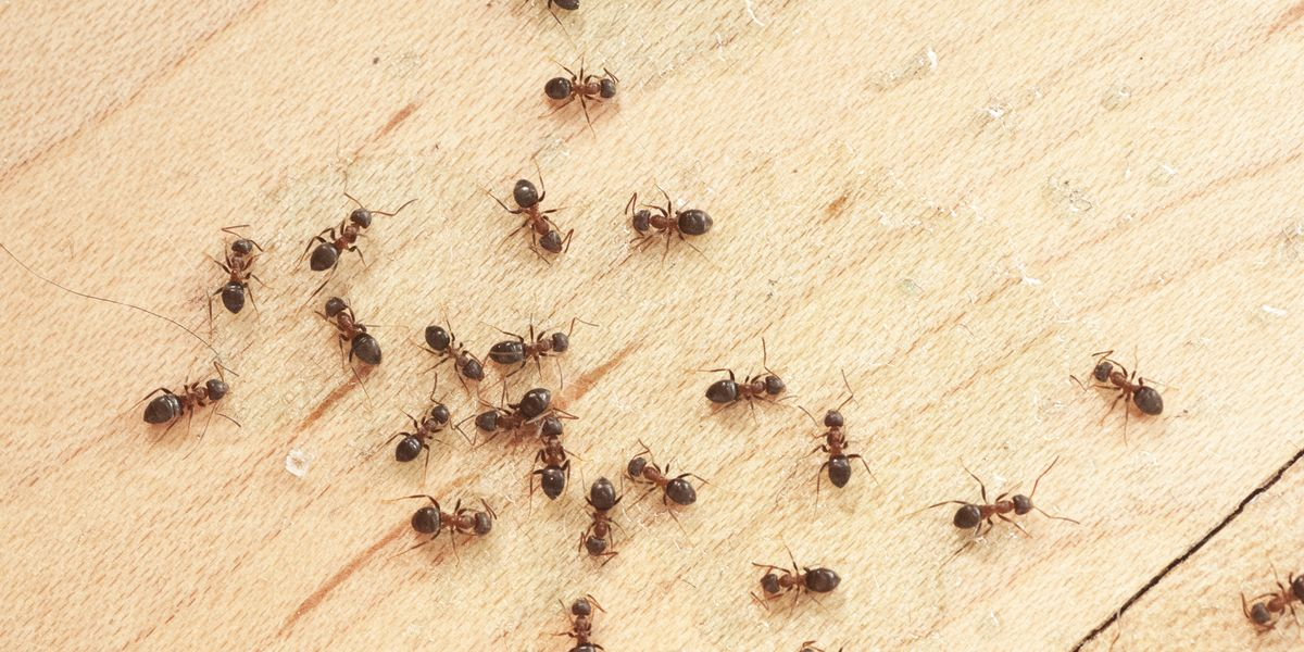 How to Control Ants In Your House Without Toxic Chemicals - Photo by countryliving