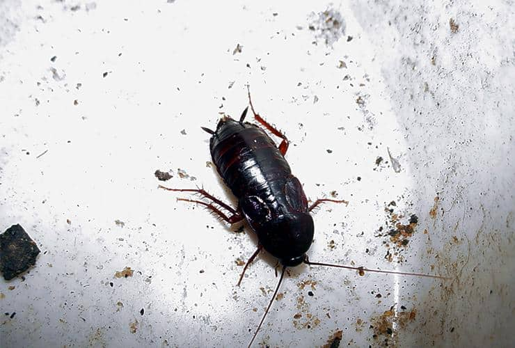How to Get Rid of Oriental Cockroaches - Photo By spencerpest