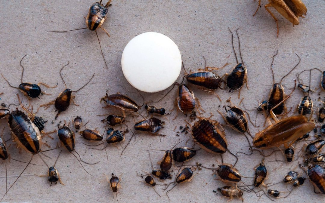 How to Get Rid of a Heavy Roach Infestation - photo by pestaguard