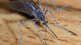 Mosquito Hawks Vs Mosquitoes