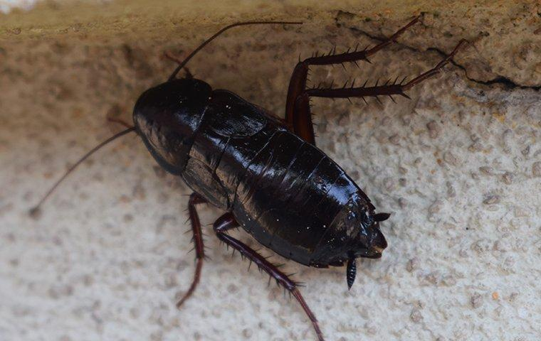 Oriental Cockroaches - Photo by adamspest