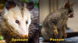 Possums Vs. Opossums: Know The Difference Between Both Animals