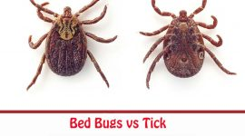 Tick vs Bed Bug: Differences and Prevention