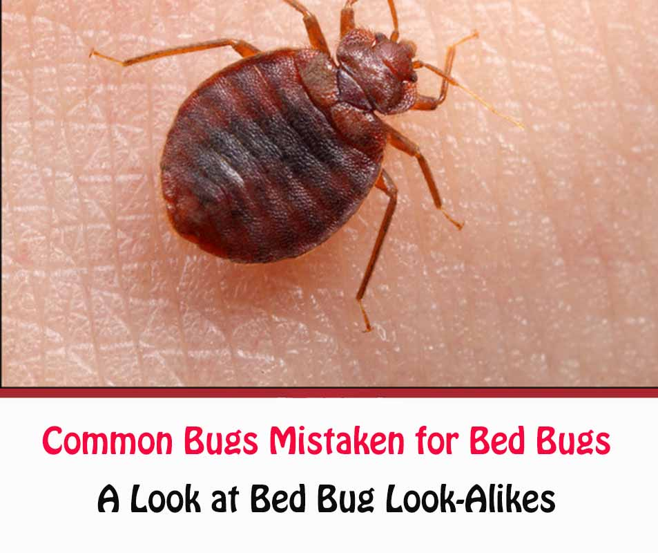 What Bugs Are Mistaken For Bed Bugs?