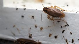 What Do Roach Droppings Look Like?