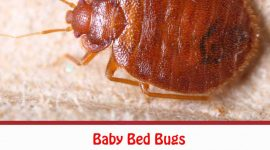 How to Get Rid of Baby Bed Bugs Naturally