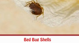 Bed Bug Shells, Casings And Skins