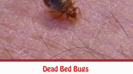 What Should You Do When Finding a Dead Bed Bug