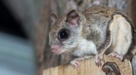 How To Get Rid of Flying Squirrels Naturally