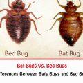 Bat Bugs Vs. Bed Bugs