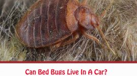 Can Bed Bugs Live In A Car?