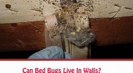 Can Bed Bugs Live In Walls?