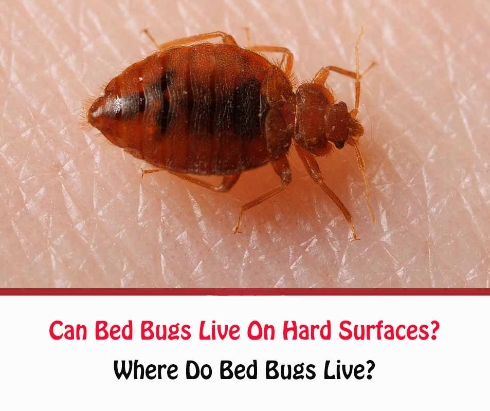 Can Bed Bugs Live On Hard Surfaces?