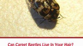 Can Carpet Beetles Live In Your Hair?