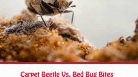 Carpet Beetle Vs. Bed Bug Bites