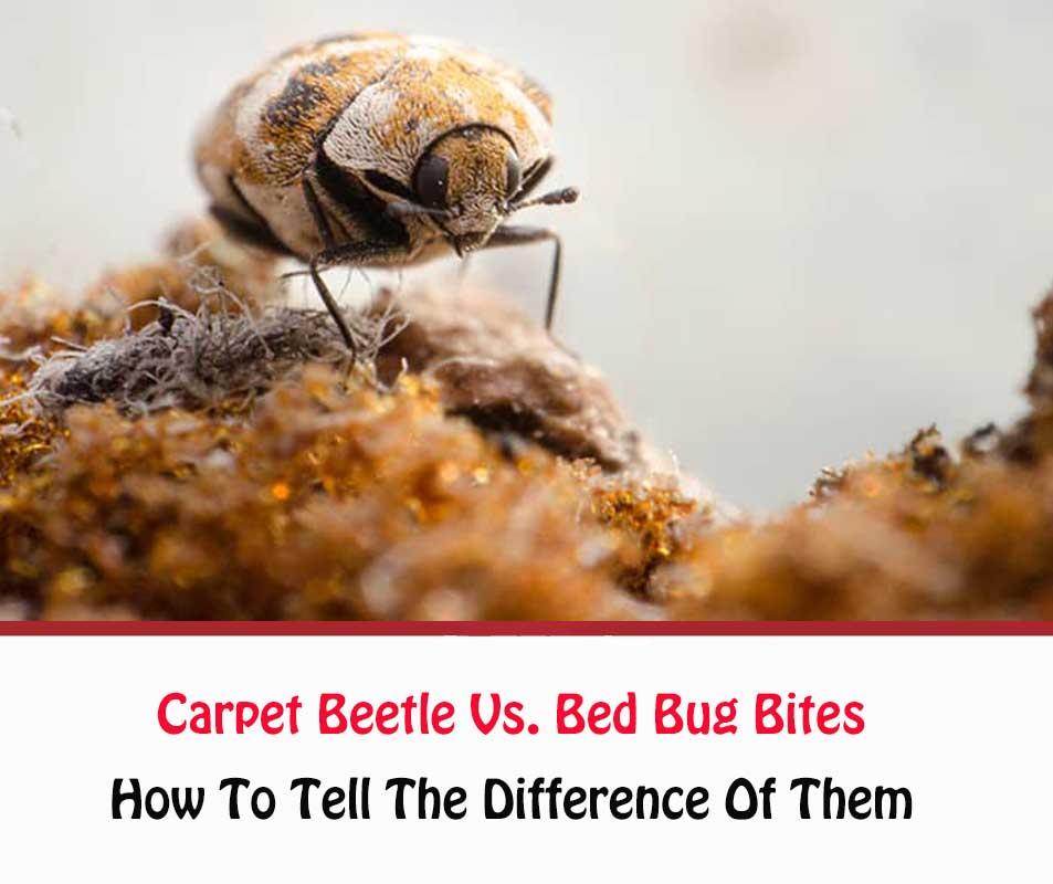 Carpet Beetle Vs Bed Bug Bites