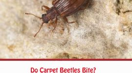Are Carpet Beetles Harmful?
