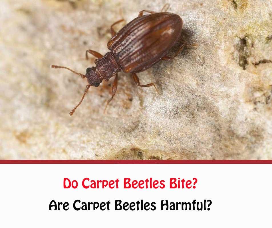 Carpet Beetles Bites