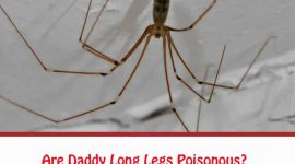 Daddy Long Legs Venom: Are Daddy Long Legs Poisonous?