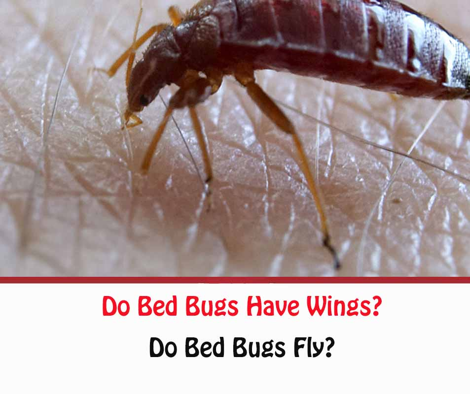 Do Bed Bugs Have Wings?