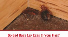 Do Bed Bugs Lay Eggs In Your Hair?