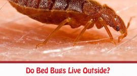 Do Bed Bugs Live Outside?