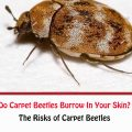 Do Carpet Beetles Burrow In Your Skin?