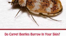 Do Carpet Beetles Burrow In Your Skin?