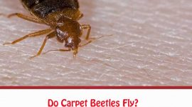 Do Carpet Beetles Fly?
