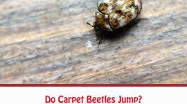 Do Carpet Beetles Jump?