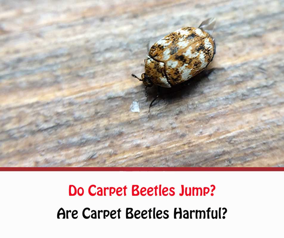 Do Carpet Beetles Jump?
