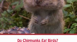Do Chipmunks Eat Birds?